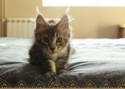 Selena Tiny Silver Cat est une chatte d'exception de gros gabarit. Elle est parti rejoindre sa nouvelle demeure la chatterie Forever in heart. Ce félin de couleur black silver et aujourd'hui maman de 5 jolis chatons.