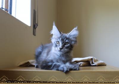 Nevada Tiny Silver Cat est l'un de nos chatons les plus câlin de notre chatterie. Ce chat est parti rejoindre sa nouvelle famille sur l'île de madère. Ce maine coon black silver est un félin doux et tendre avec une robe magnifique.