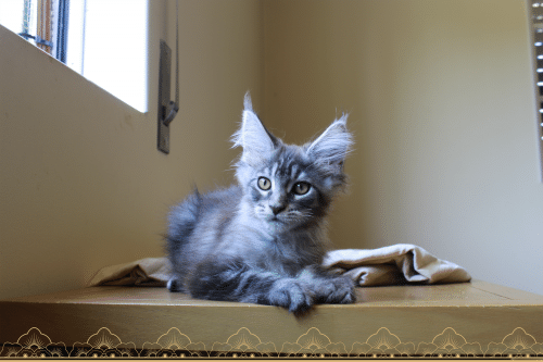 Nevada Tiny Silver Cat maine coon black silver botched tabby
