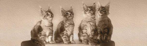 Notre chatterie Tiny Silver Cat éleveur de chat Maine Coon vous présente sa bannière.