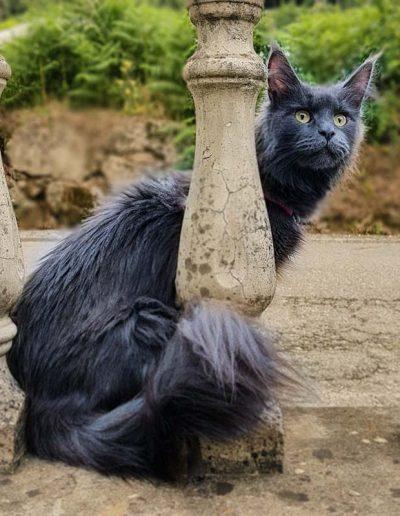 Constance Ashabelle est une belle chatte maine coon. Ce chat transmet toutes ses magnifiques qualité à ses chatons.