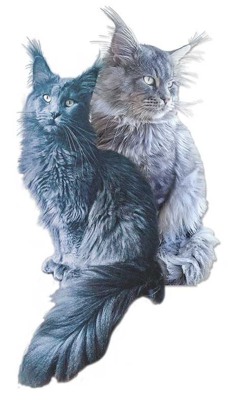 Léonidas et Silvia diva couple de maine coon