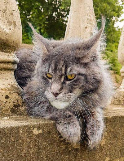 Maelys est une de chatte de reproduction. Belle ossature gueule carré typique des nouveaux type chez le maine coon.