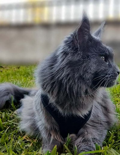 Notre chatterie Tiny Silver Cat est fiers de Silvia diva, une belle de russsie qui nous vient de chez country gulliver's maine coon