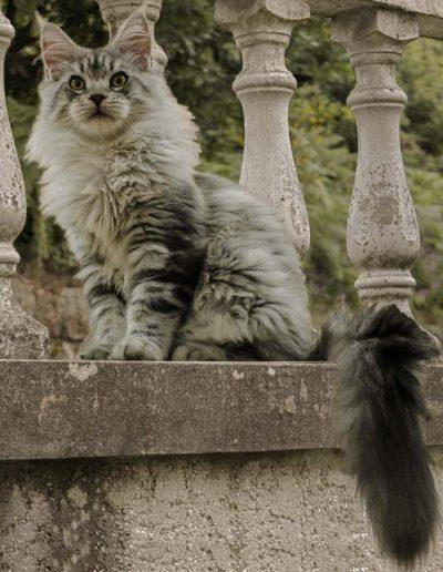 Janis Joplin Artsycat's est une magnifique femelle maine coon de couleur black silver blotched tabby et blanc. Notre chatterie Tiny Silver Cat est fiers de vous la présenter