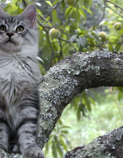 Janis Joplin Artsycat's est une femelle maine coon black silver blotched tabby et blanc. La chatterie Tiny Silver Cat est fiers de vous présentez cette chatte d'exception.