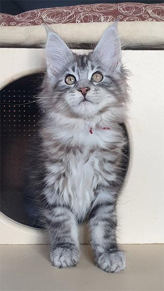 photo d'Aramis chaton maine coon