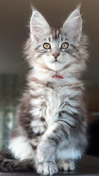 Photo de notre jeune chaton Aramis, maine coon MCO ns 22.