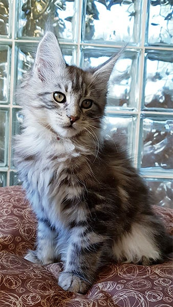 Photo d'Aramis un doux chaton maine coon.