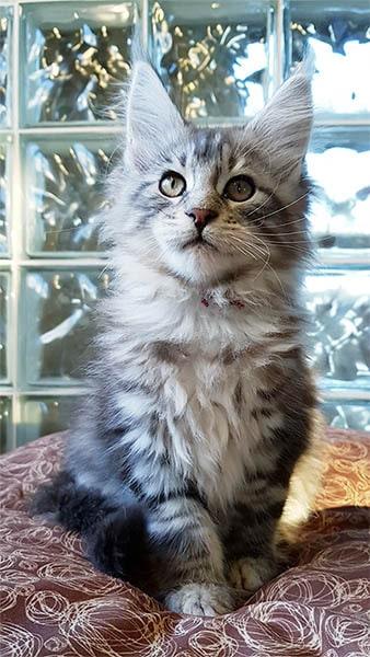 Aramis chaton maine coon de 2 mois au look sauvage.
