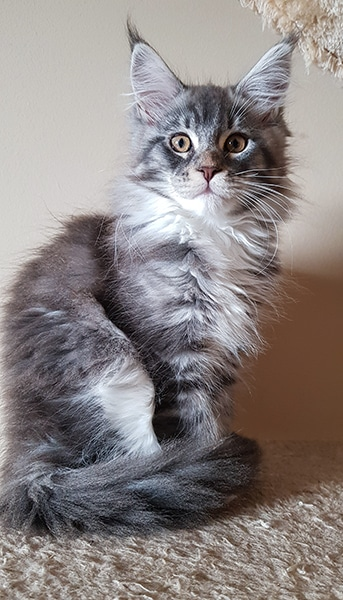 Photo de Bia maine coon fille de 3 mois