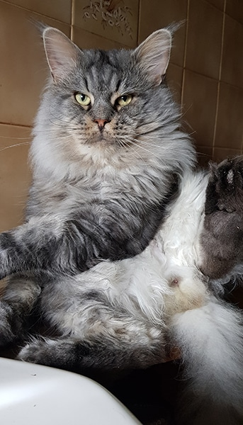 Photo d'un chat qui fait sa toilette dans une position peut approprié .