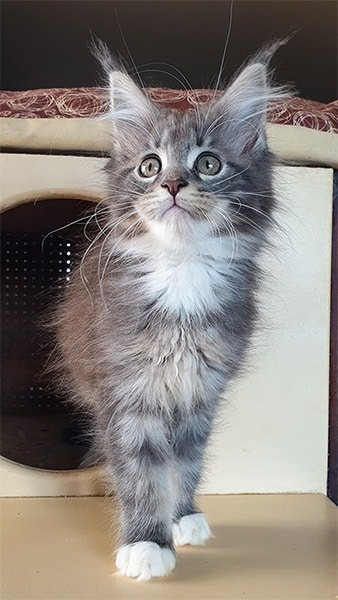 Photo de Mia femelle maine coon MCO as 22 09