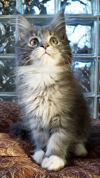 Mia TinySilverCat, magnifique maine coon de 3 mois bleu silver et blanc.