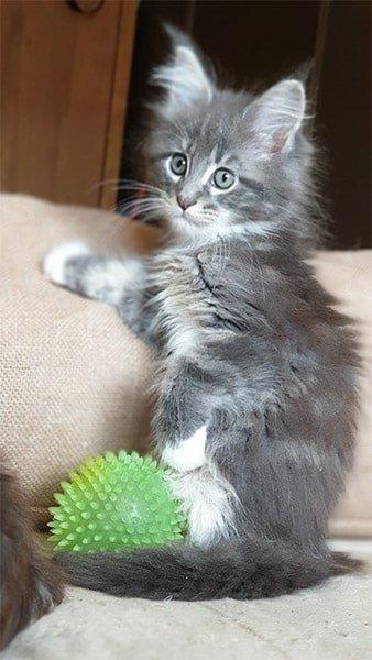 Mia Tinysilvercat à ses 2 mois.
