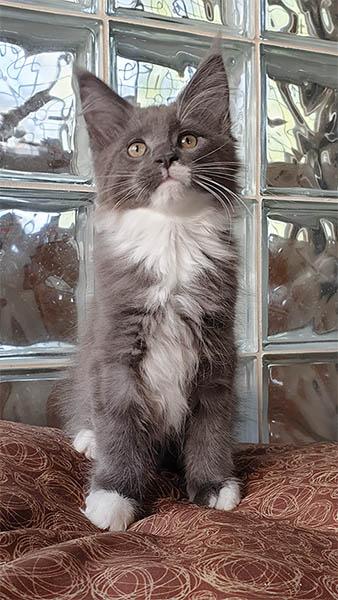 Photo d'Odyssé TinySilverCat, un chaton femelle bleu et blanc.