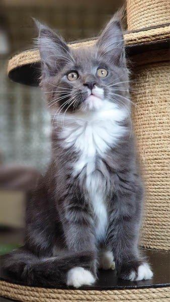Dîtes bonjour à Odyssé TinySilverCat, chatte bleu et blanc.