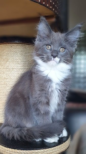 Photo de notre chatte de 3 Mois Odyssé TinySilverCat.