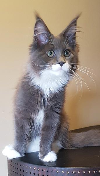 Photo d'Olympe notre chatte maine coon de 3 mois.