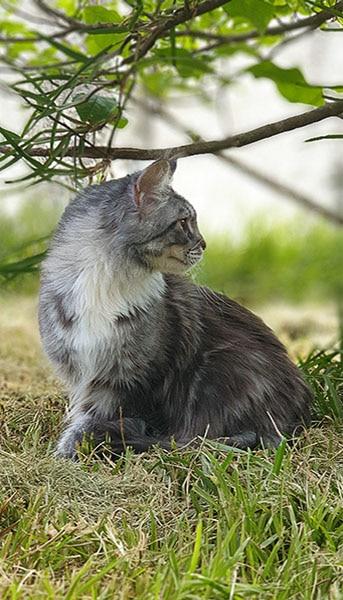 Janis Joplin Artsycat's maine coon black silver blotched tabby et blanc sur son arbre à chat