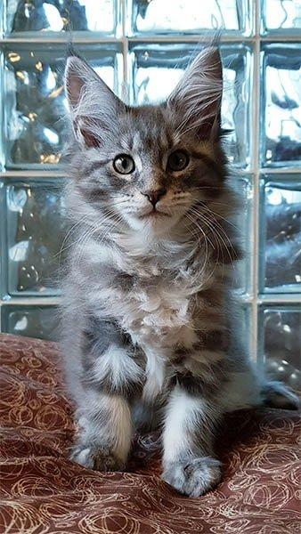 Pearl TinySilverCat bleu silver. Maine coon femelle de 3 mois
