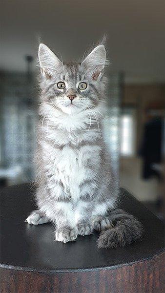 Photo de notre petite Pearl, un chaton bleu Silver.
