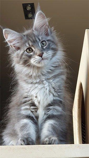 Photo de notre jeune chaton femelle de 3 mois. Un maine coon d'exception.