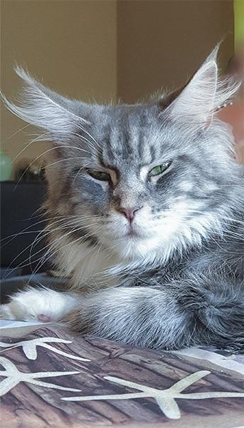 Photographie d'un chat dénomé Pixel chatte maine coon de la chatterie Tiny Silver Cat