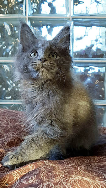Photo d'un chaton bleu maine coon de 3 mois
