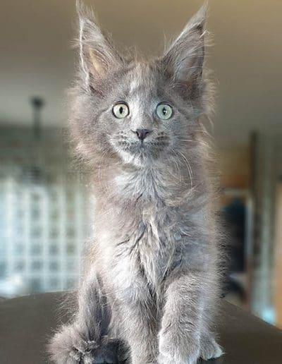 Photo de notre chaton Riana TinySilverCat 3 mois