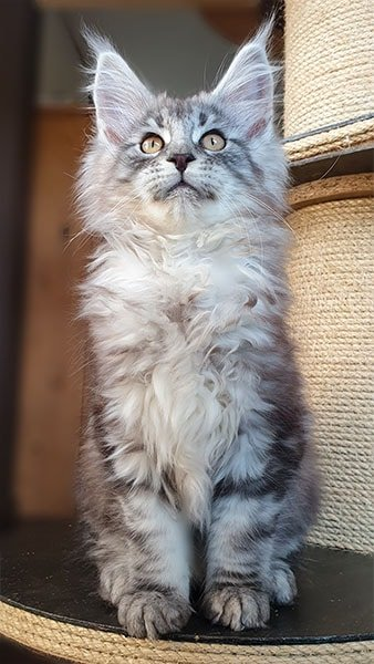 Photo de Riu chaton de la chatterie Tiny Silver Cat portée 2020
