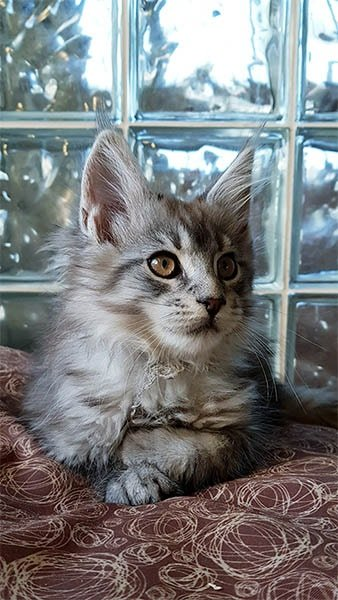 Photo d'un affectueux chaton maine coon dénommé Yoshi Tiny Silver Cat.