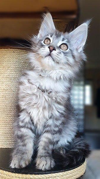 Photo de notre chaton Yoshi, un maine coon joueur et espiègle.