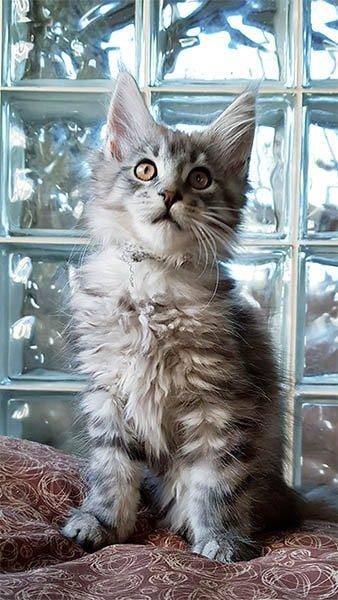 Photo de Yoshi un chaton très félin.