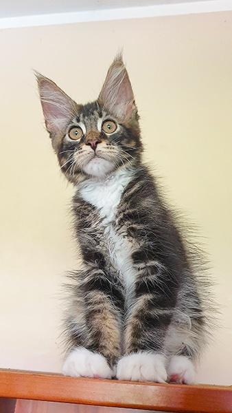 Présentation de Tommy, chaton maine coon réservé pour compagnie au Portugal.