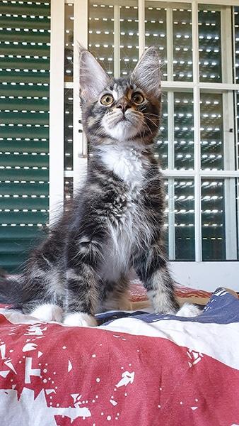 Ceci est une photo de notre chaton Tommy. Cette photographie a pour but de faire connaitre ce chaton maine coon.